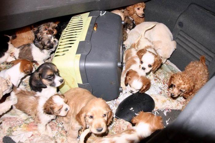 Rubano cani e con bisturi di fortuna cambiano microchip per rivenderli, scoperto e denunciato traffico illegale
